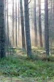 Piękni lekcy promienie w lesie przez drzew Zdjęcia Royalty Free