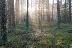 Piękni lekcy promienie w lesie przez drzew Fotografia Stock