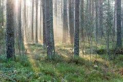 Piękni lekcy promienie w lesie przez drzew Zdjęcie Stock