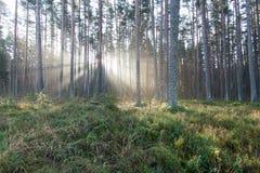 Piękni lekcy promienie w lesie przez drzew Fotografia Royalty Free