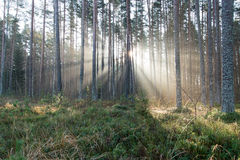 Piękni lekcy promienie w lesie przez drzew Obrazy Royalty Free