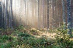 Piękni lekcy promienie w lesie przez drzew Zdjęcie Royalty Free