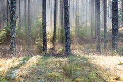 Piękni lekcy promienie w lesie przez drzew Obraz Stock