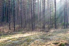 Piękni lekcy promienie w lesie przez drzew Obrazy Stock