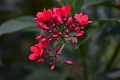 Piękni Makowi rewolucjonistka kwiaty Obraz Royalty Free