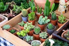 Piękni mali kaktusów garnki Zdjęcie Royalty Free