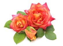 Piękni menchia kwiaty Zdjęcie Royalty Free