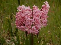 Piękni menchia kwiaty Obrazy Stock