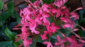 Piękni menchia kwiaty Obrazy Royalty Free