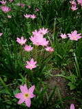 Piękni menchia kwiaty Obraz Royalty Free