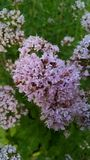 Piękni Michigan lata ogródu kwiaty Zdjęcia Stock