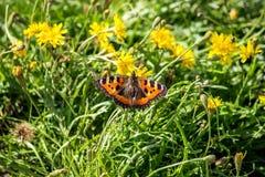 Piękni motyli Aglais urticae Obrazy Stock