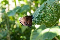 Piękni motyli outoodrs w parku tropikalna Bali wyspa, Indonezja egzotycznych motyli Zdjęcie Stock