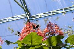 Piękni motyli outoodrs w parku tropikalna Bali wyspa, Indonezja egzotycznych motyli Obrazy Royalty Free