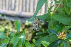 Piękni motyli outoodrs w parku tropikalna Bali wyspa, Indonezja egzotycznych motyli Zdjęcia Royalty Free