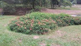 Piękni naturalni kwiaty Srilanka obrazy royalty free