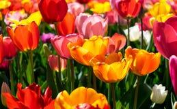 piękni parkowi tulipany Czas dla relaksu Fotografia Stock