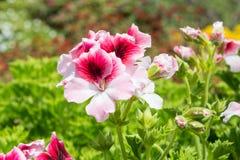 Piękni pelargonium domesticum kwiaty Fotografia Royalty Free