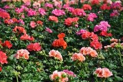 Piękni pelargoniums Obraz Royalty Free