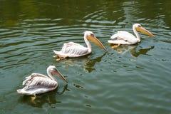 piękni pelikany Obrazy Royalty Free
