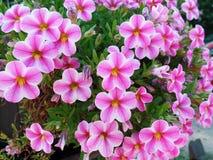 Piękni petunia kwiaty Obrazy Royalty Free