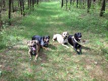 Piękni psy! Obrazy Royalty Free