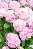 Piękni purpur i menchii kwiaty Obraz Stock