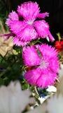 Piękni purpur, menchii dzicy kwiaty/ Fotografia Royalty Free