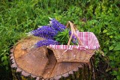 Piękni purpurowi lupines zbierali w koszu, pinkin w lesie zdjęcia royalty free