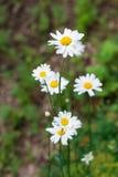 Piękni rumianki w ogródzie Zdjęcia Stock