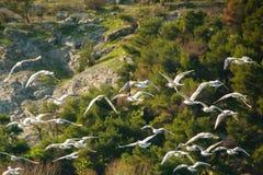 Piękni seagulls lata wpólnie w dzikiej naturze Obrazy Royalty Free