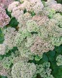 Piękni Sedum kwiaty Zmienia kolor Obraz Stock