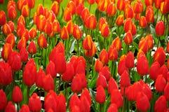 piękni tulipany Zdjęcia Stock