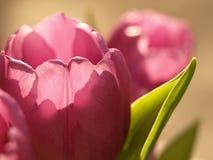 piękni tulipany Obrazy Royalty Free
