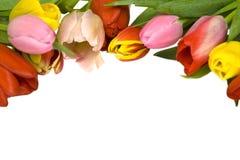 Piękni tulipany Zdjęcie Stock
