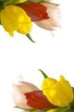 Piękni tulipany Zdjęcia Royalty Free