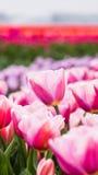 Piękni tulipany w holendera krajobrazie Zdjęcia Royalty Free