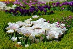 Piękni tulipany w ogródzie Obrazy Stock