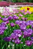 Piękni tulipany w ogródzie Zdjęcie Stock