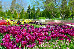 Piękni tulipany w ogródzie Fotografia Royalty Free