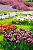 Piękni tulipany w ogródzie Zdjęcia Royalty Free