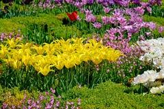Piękni tulipany w ogródzie Obrazy Royalty Free