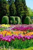 Piękni tulipany w ogródzie Zdjęcia Stock