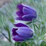 Piękni wiosna kwiaty, pulsatilla zdjęcie royalty free