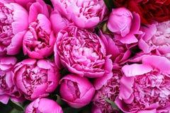 Pi?kni wiosny peoni kwiaty w lecie uprawiaj? ogr?dek obraz stock