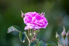 Pi?kni wiosny peoni kwiaty w lecie uprawiaj? ogr?dek obraz royalty free