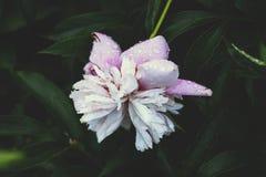 Pi?kni wiosny peoni kwiaty w lecie uprawiaj? ogr?dek zdjęcie royalty free