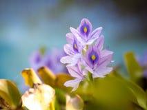 Piękni Wodnego hiacyntu kwiaty Zdjęcia Royalty Free