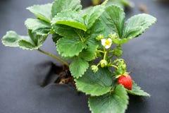 Piękni zieleni krzaki truskawki na Agro tkaninach, Agrotex Zdjęcie Royalty Free