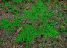 Pi?kni zieleni papro? li?cie w lesie obrazy royalty free